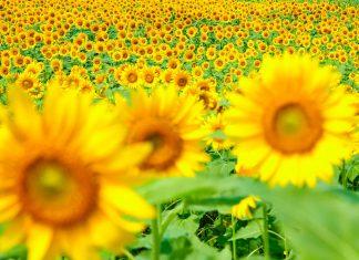 Sunflower & Kochia Land