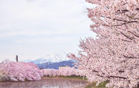 Takada Park Cherry Blossoms