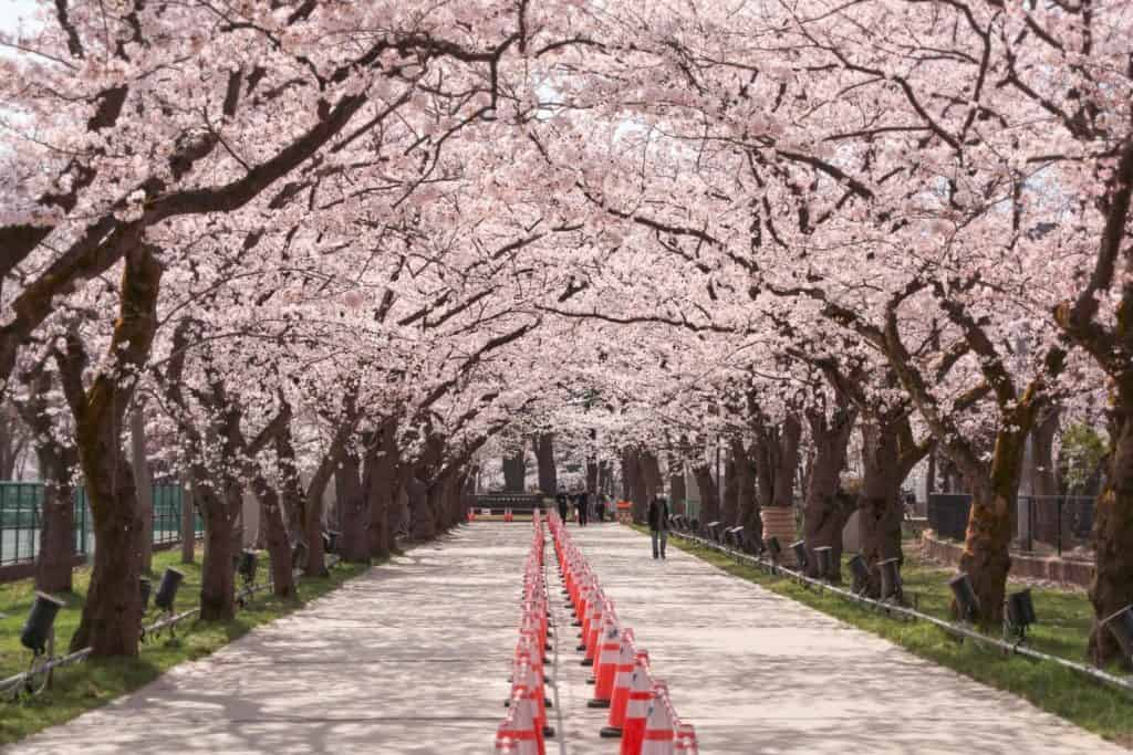 Takada Park cherry blossoms